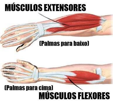 anatomia dos músculos do antebraço