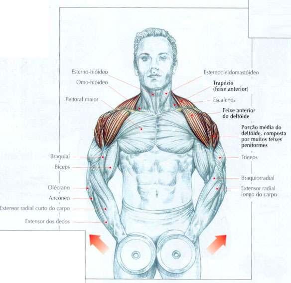 músculos exigidos durante a elevação lateral com halteres