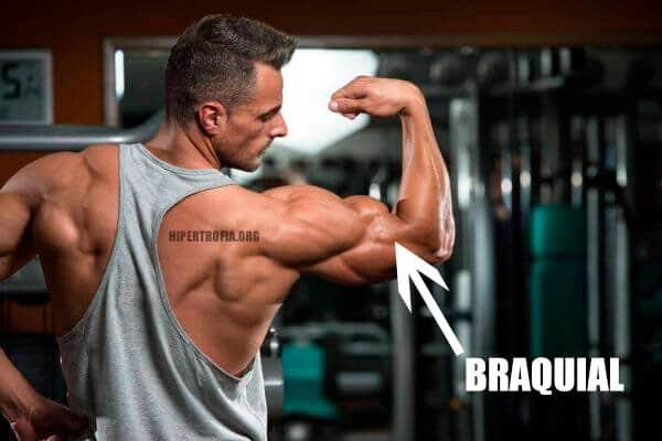 Localização do músculo braquial no bíceps