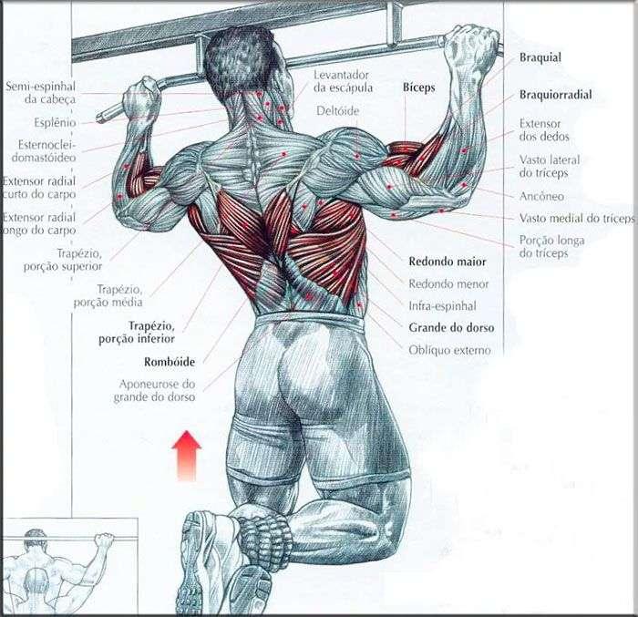 Músculos envolvidos durante a barra fixa