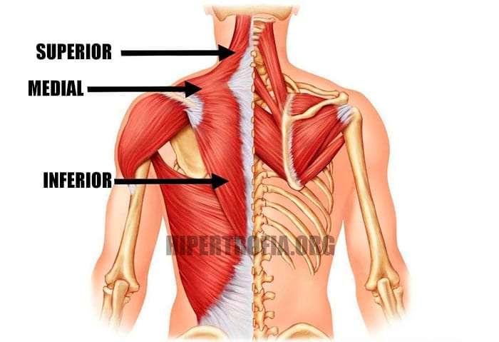 anatomia do músculo trapézio e quais regiões o exercício encolhimento trabalha