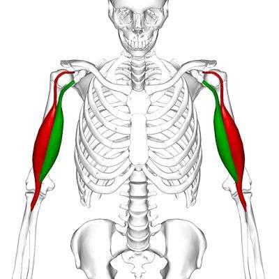 anatomia do bíceps braquial