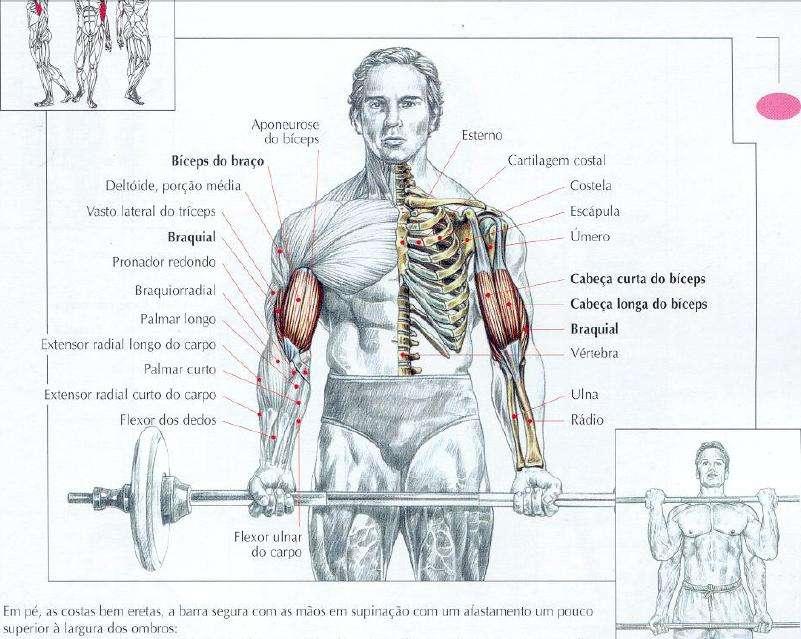 Principais músculos do braço recrutados durante a rosca direta com barra