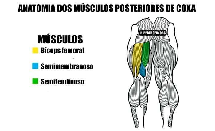 anatomia dos músculos posteriores de coxa ou isquiotibiais