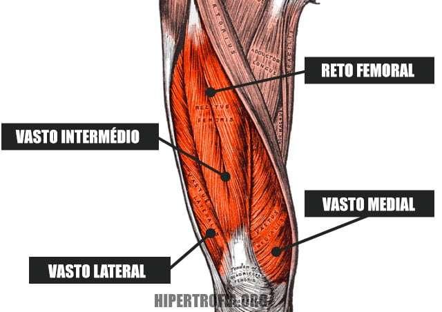 anatomia dos músculos do quadríceps