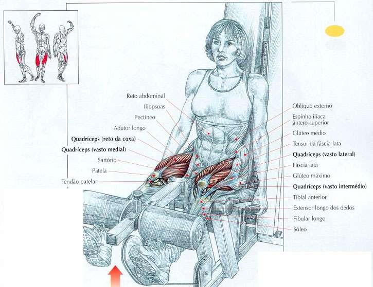 músculos trabalhados na cadeira extensora