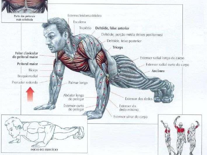 músculos recrutados durante uma flexão de braço