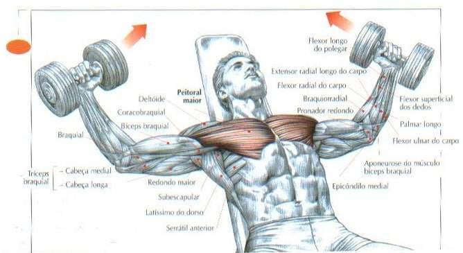 músculos envolvidos durante o crucifixo reto com halteres