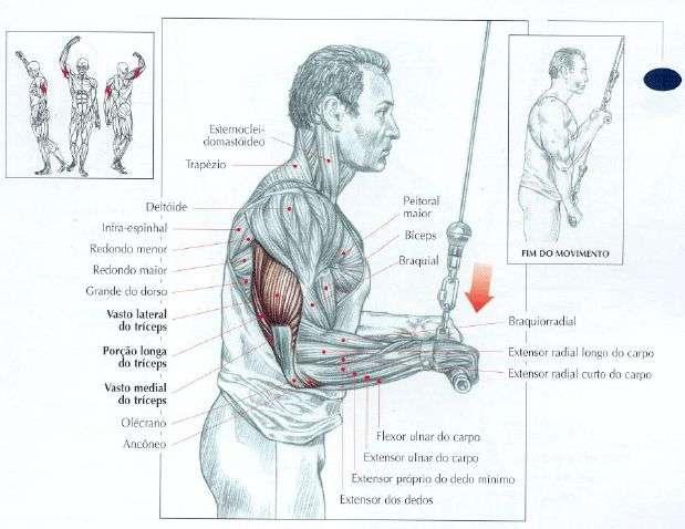 músculos envolvidos durante o tríceps na polia