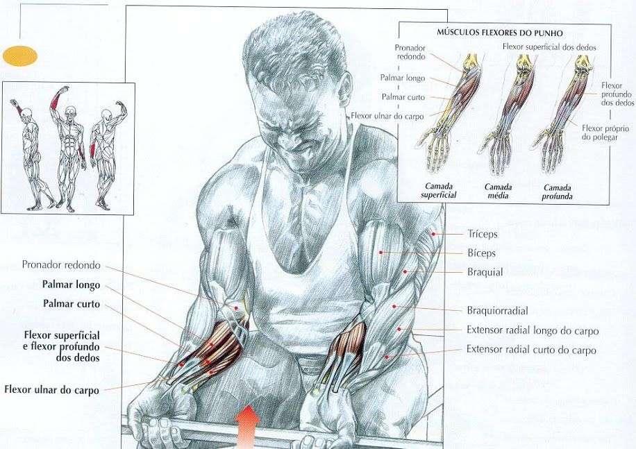 músculos envolvidos durante a rosca punho