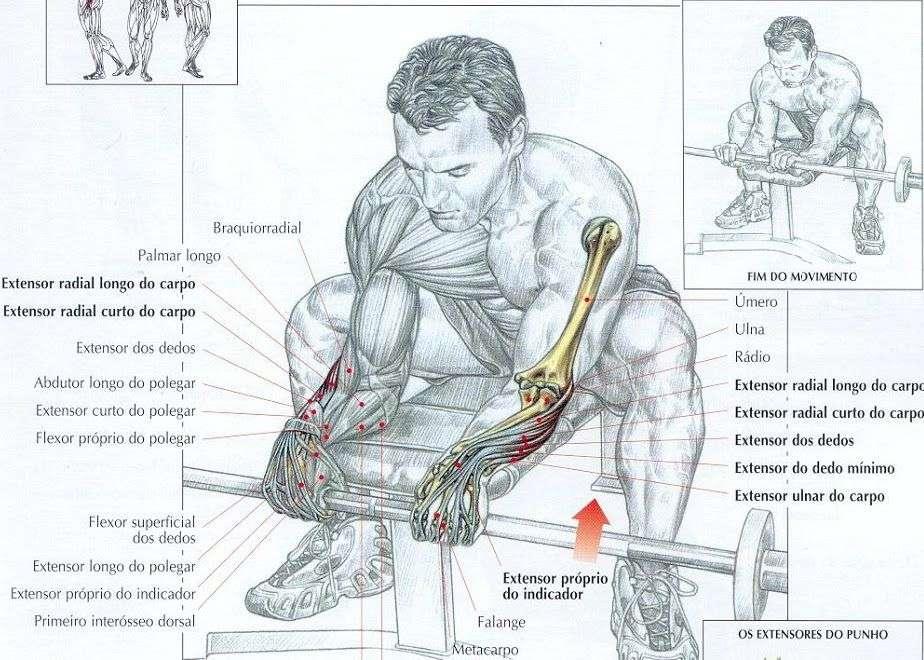 músculos envolvidos durante a rosca punho inversa
