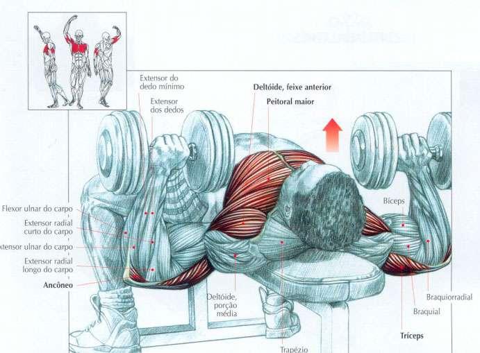 músculos envolvidos durante o supino com halteres