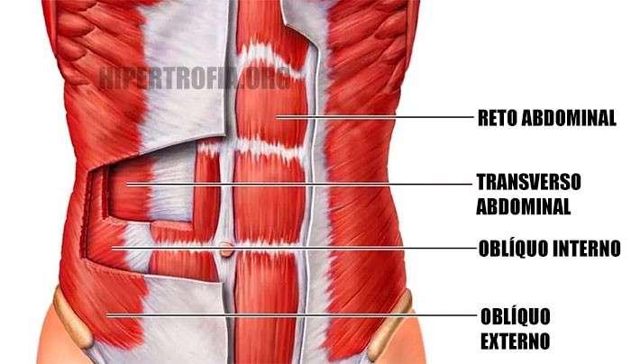 Anatomia dos principais músculos do abdômen