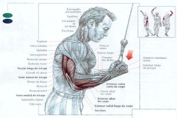 músculos trabalhados durante o tríceps invertido