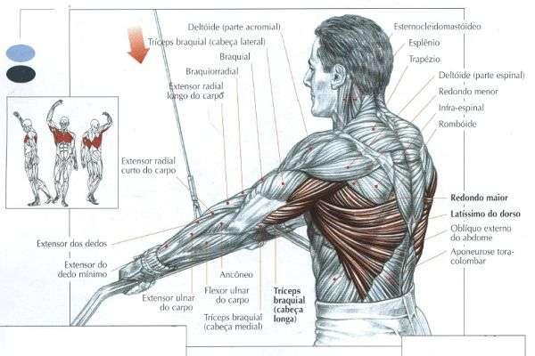 Músculos envolvidos durante o exercício pull down