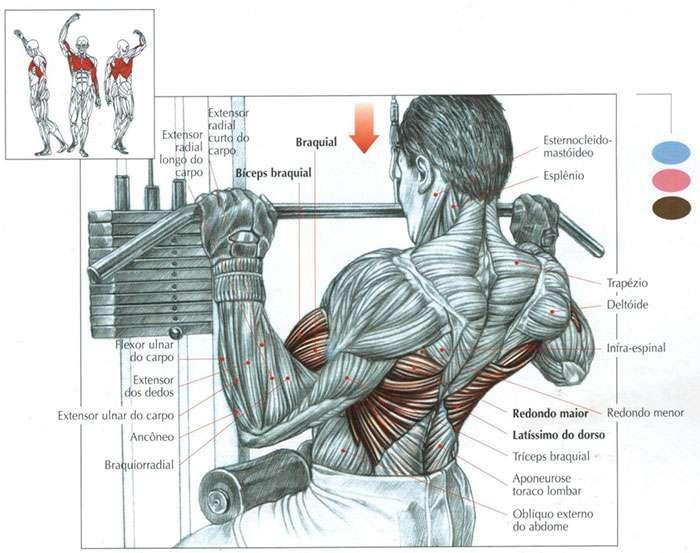 músculos recrutados pulley costas