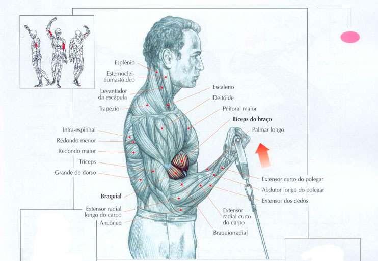 músculos recrutados rosca no cross