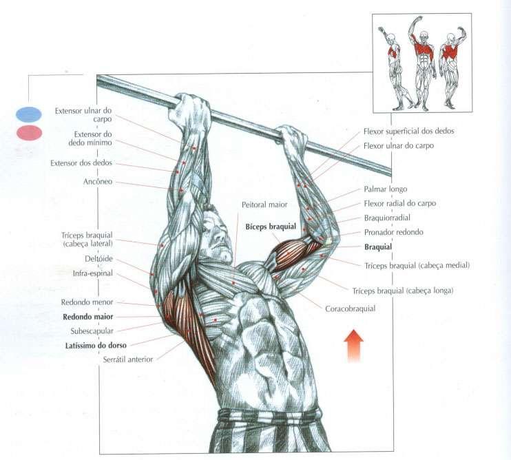 chin up musculos recrutados